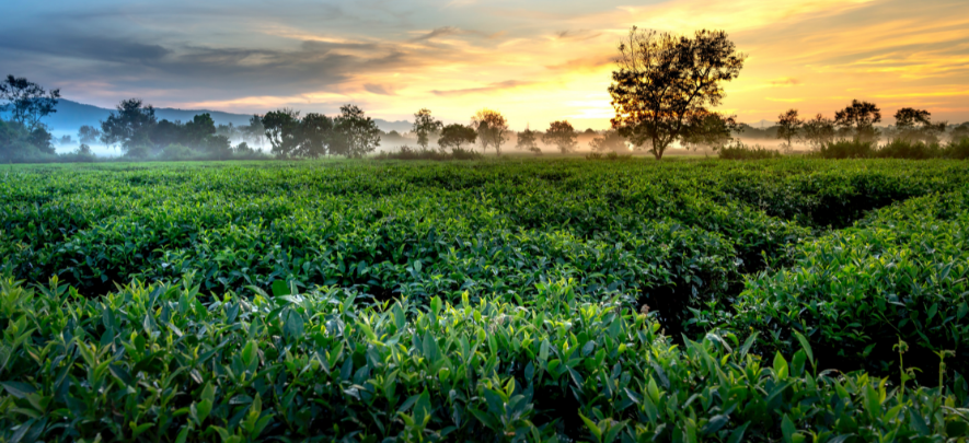 From plucking to packaging: How green tea is produced